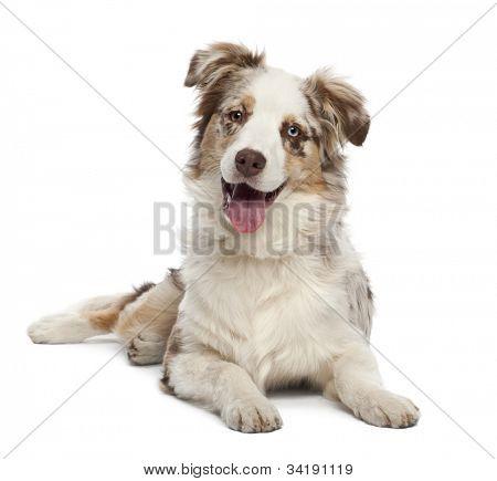 Cachorro pastor australiano, 6 meses de edad, retrato sobre fondo blanco