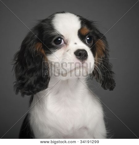 Cavalier King Charles Spaniel puppy, 3 months old, portrait against white background