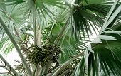 Closeup Palm Tree And Bunch Of Plam Fruit In Tropical Forest. Fan Palm (corypha Umbraculifera) With  poster