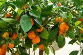 Ripe Juicy Sweet Orange Mandarins On A Tree In The Mandarin Orchard. Selective Focus. Mandarin Orang poster