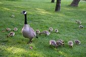 picture of mother goose  - A mother Canada Goose watches over her goslings as they feed - JPG