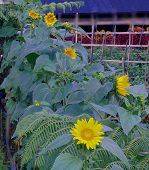 Sunflower. Flower In Garden At Sunny Summer Or Rainy Day.  Flower For Decoration And Agriculture Con poster