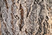 Texture Of Embossed Bark Of An Old Maple. Texture Of The Bark Of Old Maple Tree. Cracked Bark, Embos poster