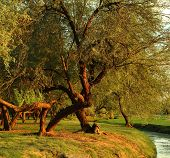 foto of mesquite  - Mesquite trees in a park at sunset useful as background - JPG