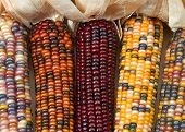 Different Colors Of Vibrant Ears Of Indian Corn With Husks Pulled Back. A Symbol Of Harvest Season,  poster
