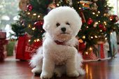 Bichon Frise Christmas. Pure breed Bichon Frise Dog poses for her Christmas photo under her Christma poster