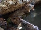 A Family Of Three Capybaras. Large Rodents Swim In The Pool. Capybaras Have Long, Stiff Hair, A Larg poster