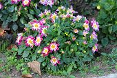 Dahlia Starsister Dark Pink And White Bushy Tuberous Herbaceous Perennial Plants With Large Composit poster