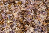 Winter Background. The Fallen, Wet Leaves Sycamore In Winter Forest At Overcast Weather Close-up poster