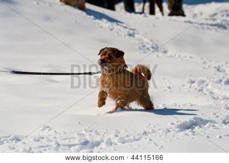 Norfolk Terrier On Winter Walk
