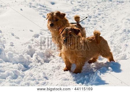 Two Norfolk Terriers