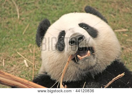 Giant Panda Bear (ailuropoda Melanoleuca), China