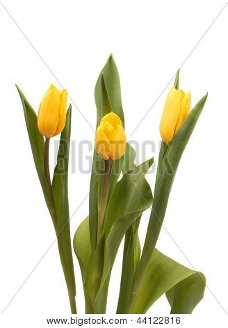 Three Yellow Tulips