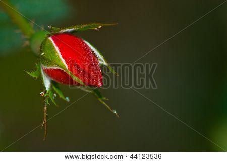 Dew covered rose bud