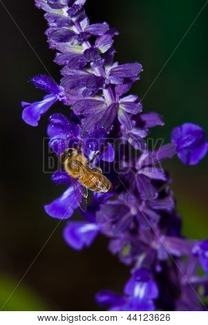 Bee collecting pollen from Mealy-Cup Sage