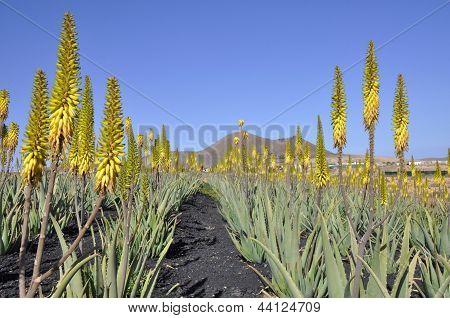 Aloe Vera Plantation On Fuerteventura