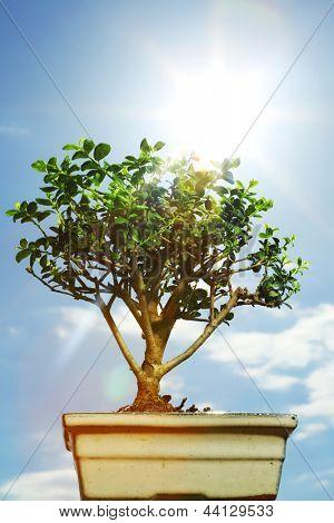 bonsai on blue sky background