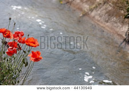 Poppies By The River