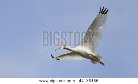 White Ibis - Texas