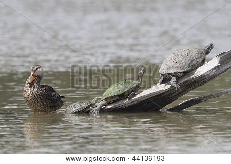 Female Mallard And Three Turtles - Texas