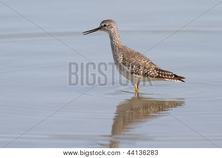 Lesser Yellowlegs - Texas