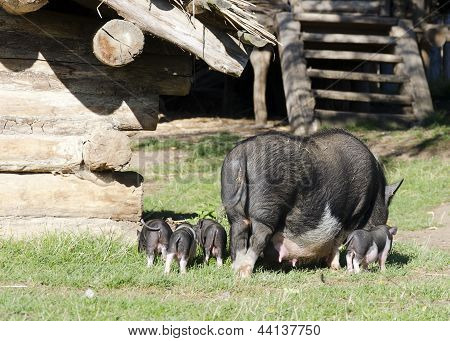 Pigs At Farm