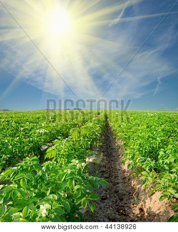 Potato Field On