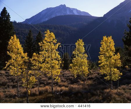 Aspen Trees & Mt. Dana