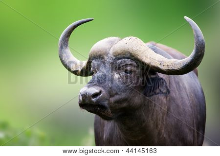African buffalo portrait; Syncerus caffer; South Africa