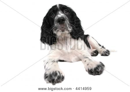 English Springer Spaniel Puppy Laying Down