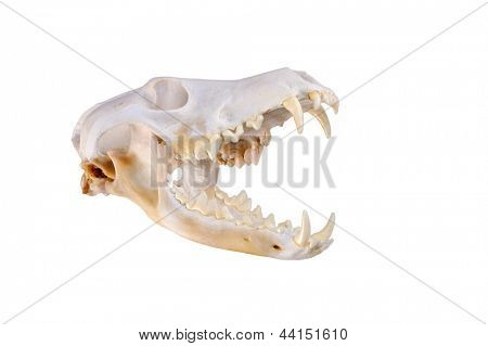 Skull of a coyote (canis Latrans) on a white background with jaw background