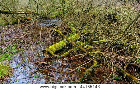 old woods with green moss in swamp
