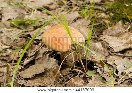 Hoja roja Cap Scaber tallo Mushroom Forest crecer