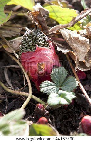 Rhubarb Bud.