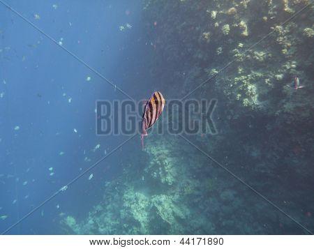 Scissor tail fish in the Red Sea