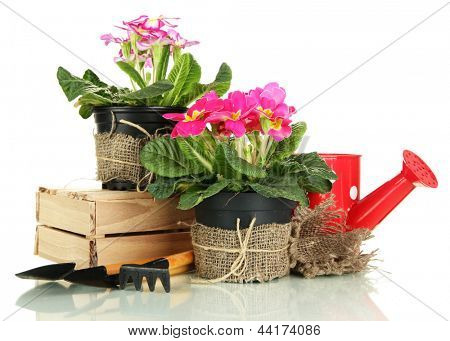 Beautiful pink primulas in flowerpots and gardening tools, isolated on white