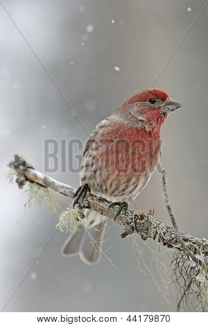 Cassin's Finch Male (carpodacus Cassinii) Sitting On A Stick