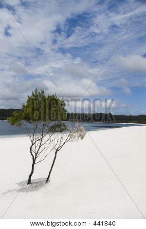 Fraser Island Alexandra Lake And Tree