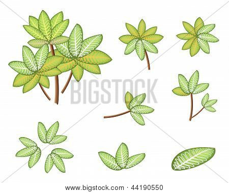 A Set Of Isometric Dieffenbachia Picta Marianne Plant