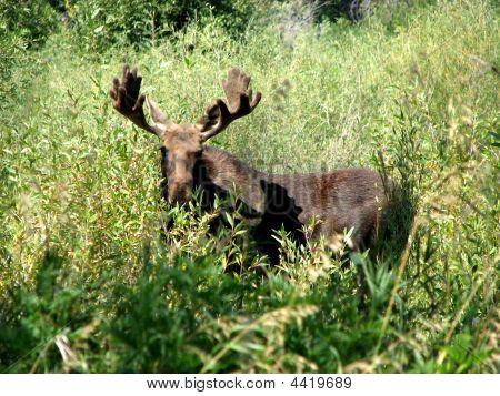 Close Photo Of Moose