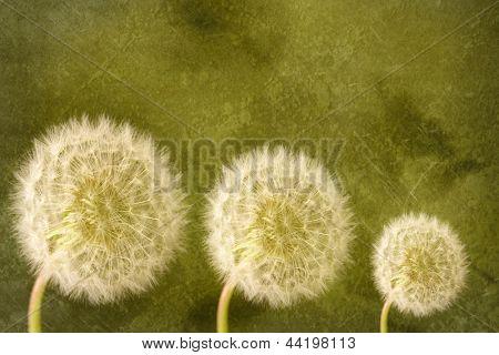 Três cabeças de semente dandelion em verde texturizado fundo