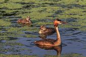 image of great crested grebe  - great crested grebe  - JPG