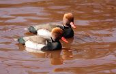 picture of crested duck  - Two adult male Red Crested Pochards swimming in early Spring - JPG