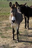 picture of jack-ass  - This donkey is curious and has no fear in approaching humans - JPG