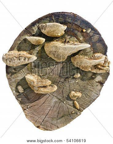Mushrooms On A Stub Isolated