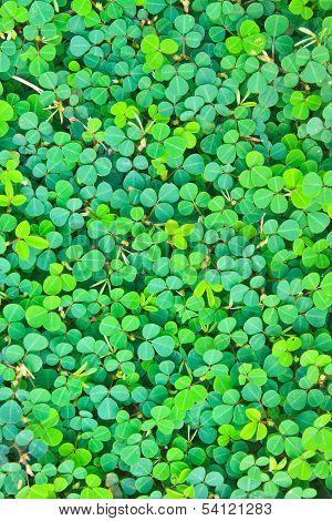 Pattern. Oxalis Acetosella .background Nature .