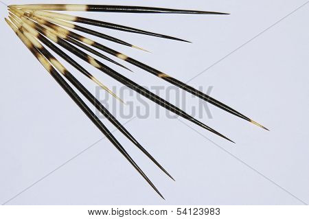 Porcupine Quill Background - Wildlife Safety Measures from Africa