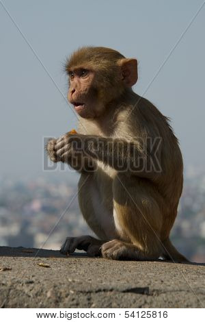 Baby rhesus macaque looking surprised