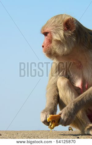 Rhesus macaque staring
