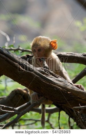 Baby rhesus macaque chewing a branch